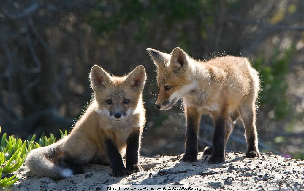 狐狸 小狐狸 二只 可爱 站着 趴着 哺乳动物 野生动物 生物世界