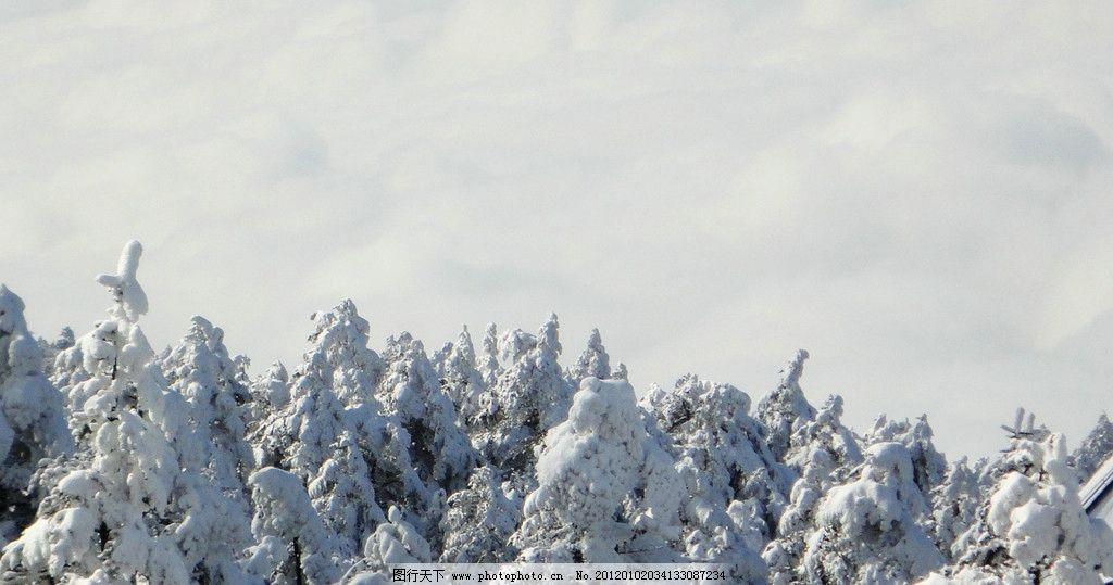雪松林(非高清) 峨眉山 风景 树林 阳光 冬天 雪 树稍 树 松树 自然