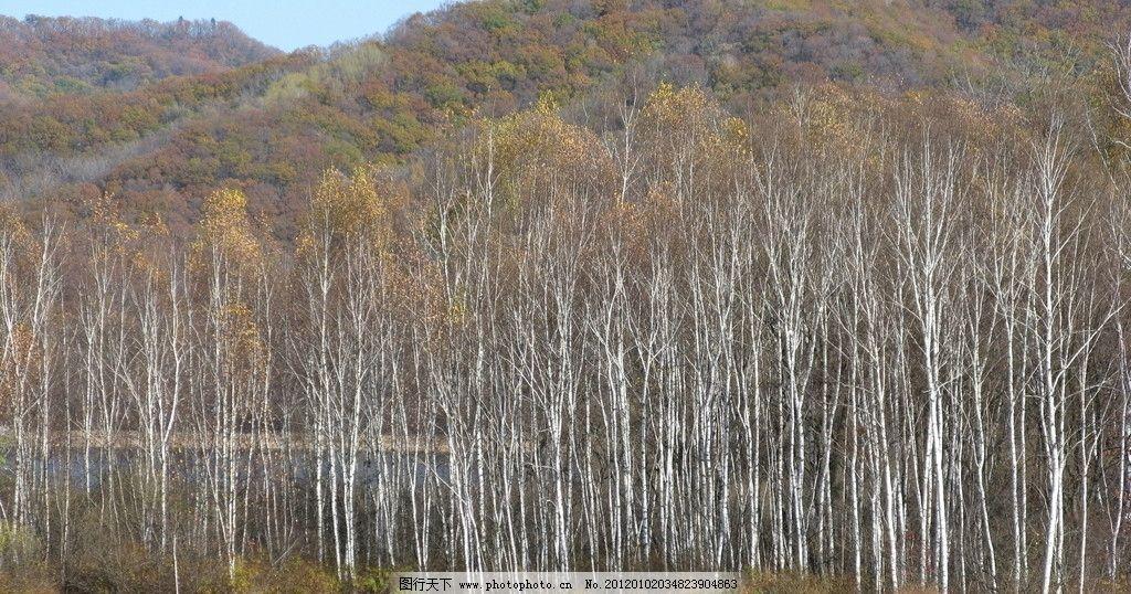秋染白桦 秋天 白桦林 远山掩映 自然风景 自然景观 摄影 180dpi jpg