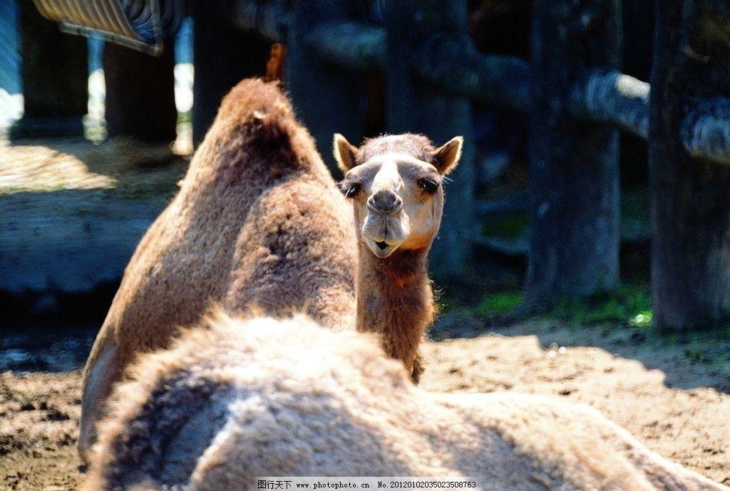 骆驼 双峰驼 单峰驼 野生动物 生物世界 摄影 72dpi jpg