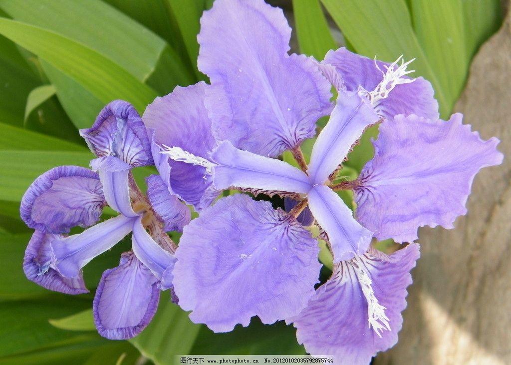 鳶尾 烏鳶 扁竹花 藍紫色花 鮮花 花卉 花草 生物世界 攝影 72dpi jpg