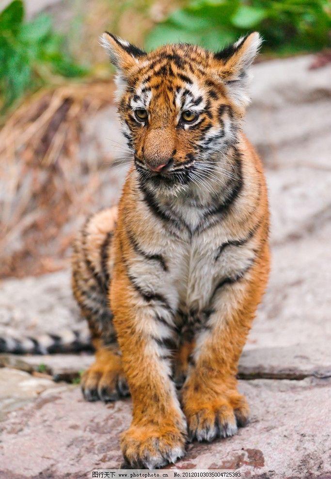 动物图片大全可爱老虎