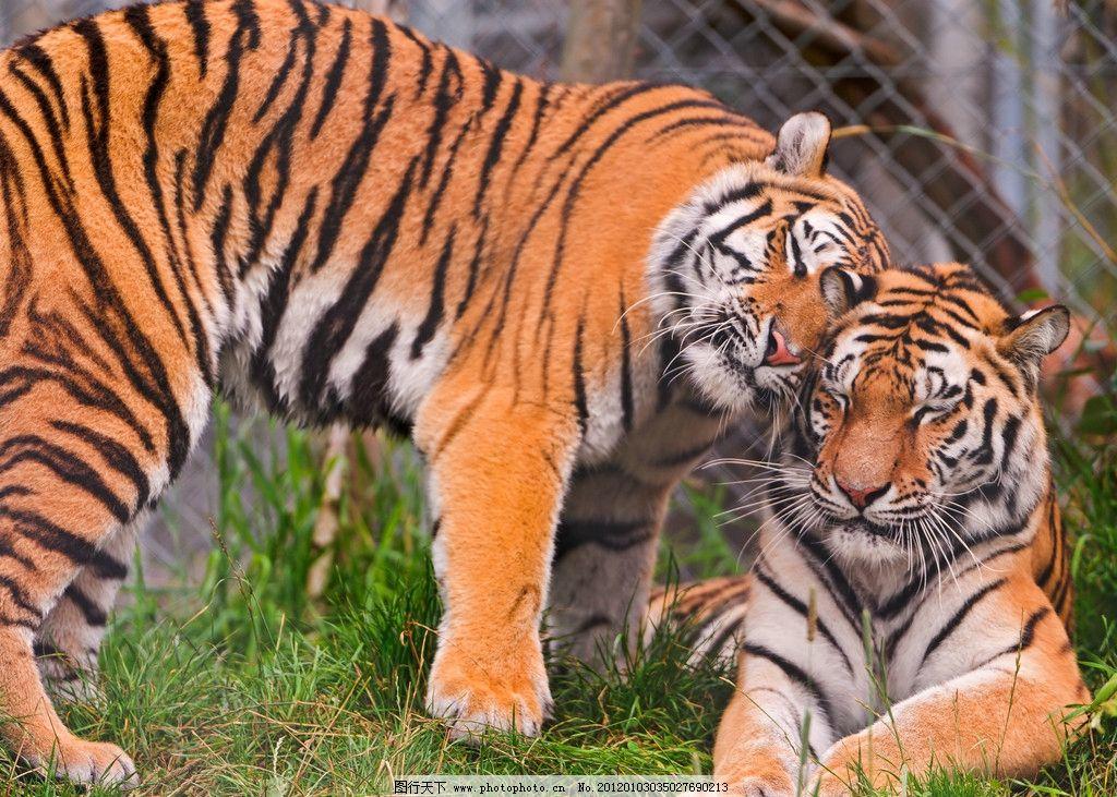 老虎 东北虎 华南虎 保护动物 哺乳动物 二只 野生动物 生物世界 摄影