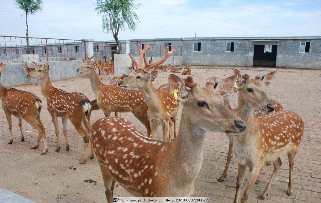 梅花鹿 梅花鹿养殖场 野生动物养殖场 特种养殖 野生动物 生物世界