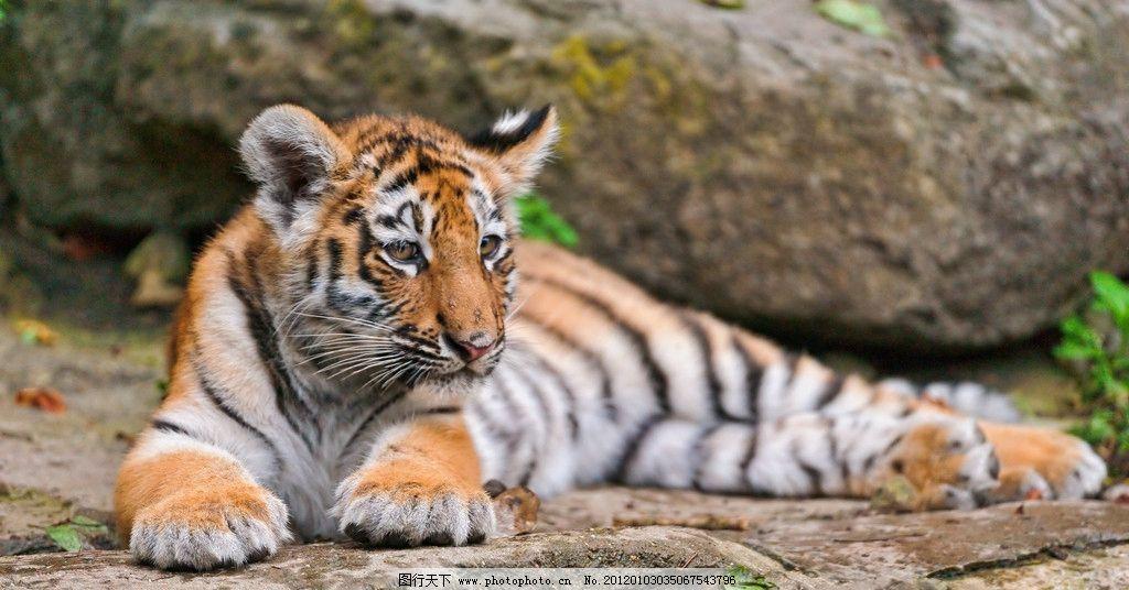 老虎 东北虎 华南虎 保护动物 哺乳动物 趴着 野生动物 生物世界 摄影