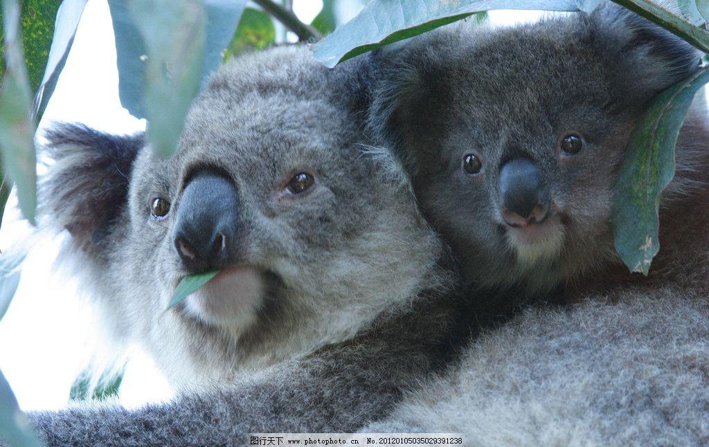 考拉 考拉两只 哺乳动物 野生动物 生物世界 摄影 350dpi jpg