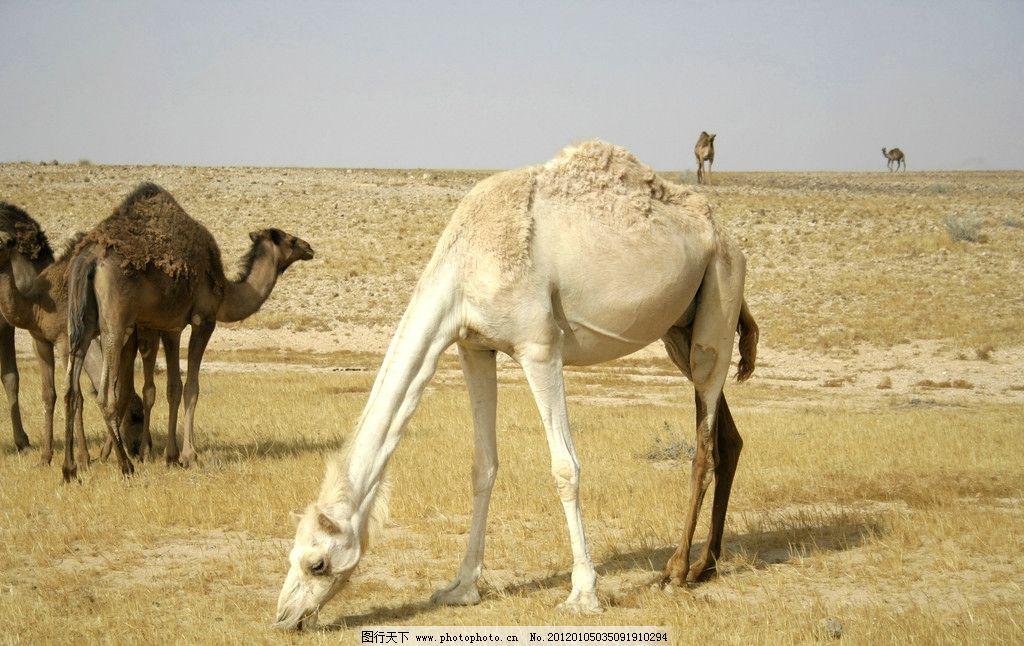 骆驼 野生 珍惜 珍贵 保护 动物 马匹 沙漠 荒原 野生动物