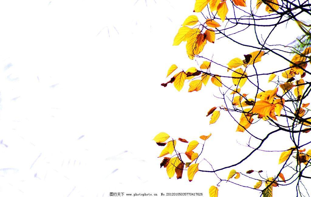 树叶 绿荫 树枝 树干 尖叶树 植物 树木 黄色 黄叶 秋天 花草 生物