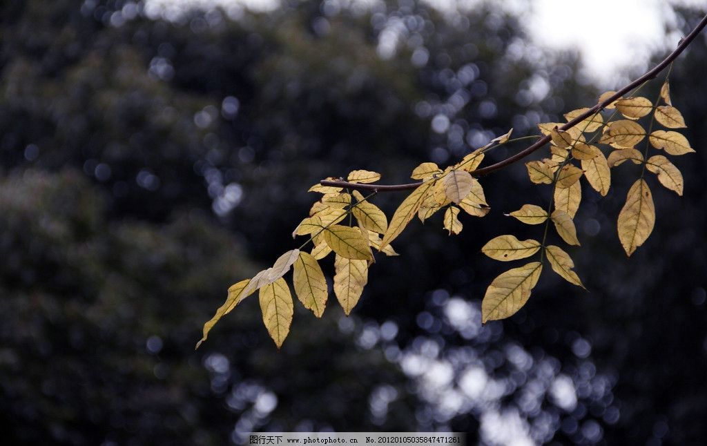 秋天树叶 秋天 树叶 黄叶 冬天 枯叶 一支 树木树叶 生物世界 摄影 72