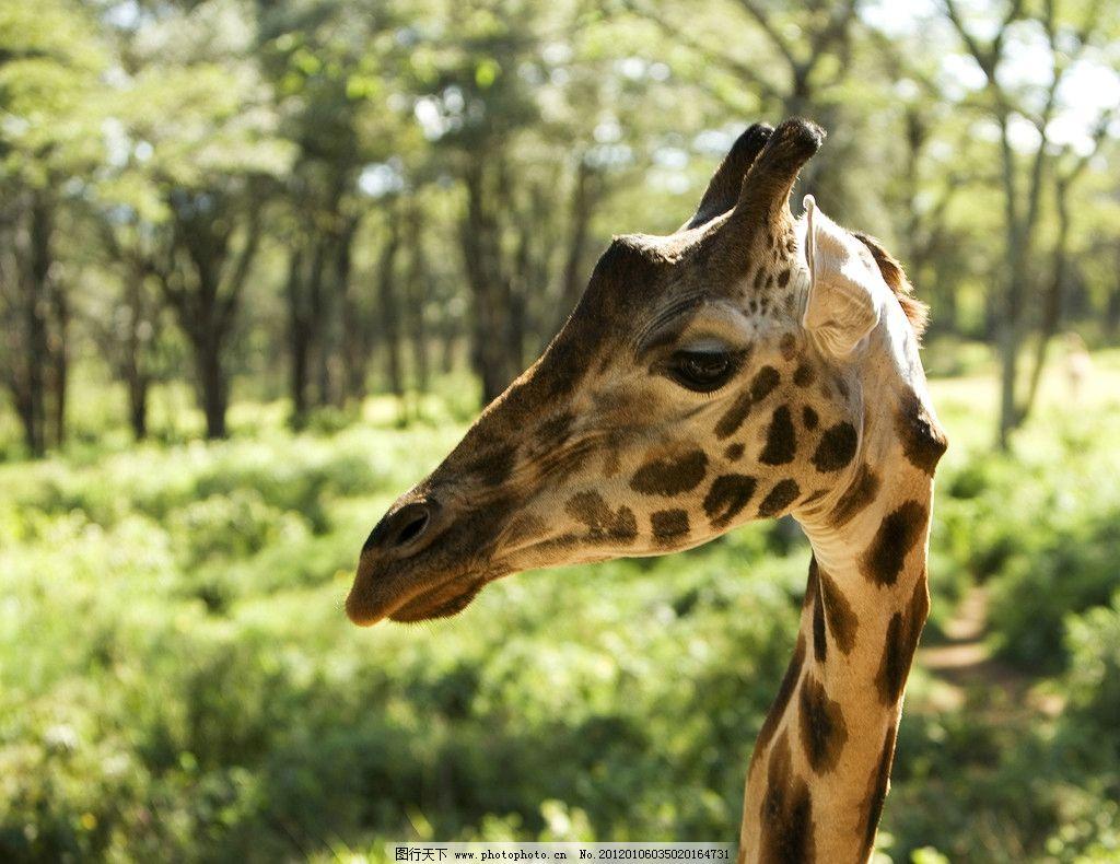 长颈鹿素材 野生 珍惜 保护 动物 野生动物 生物世界 摄影