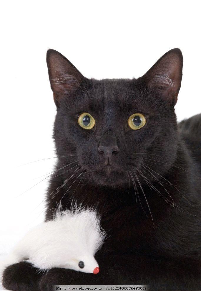黑猫 小猫 猫咪 宠物 可爱 家禽家畜宠物 家禽家畜 生物世界 摄影 72d