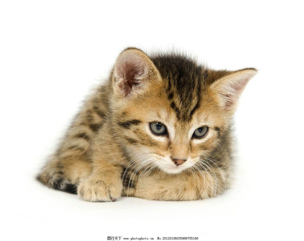 可爱小猫 小猫 猫咪 宠物 猫科动物 虎皮猫 白背景      素材 家禽