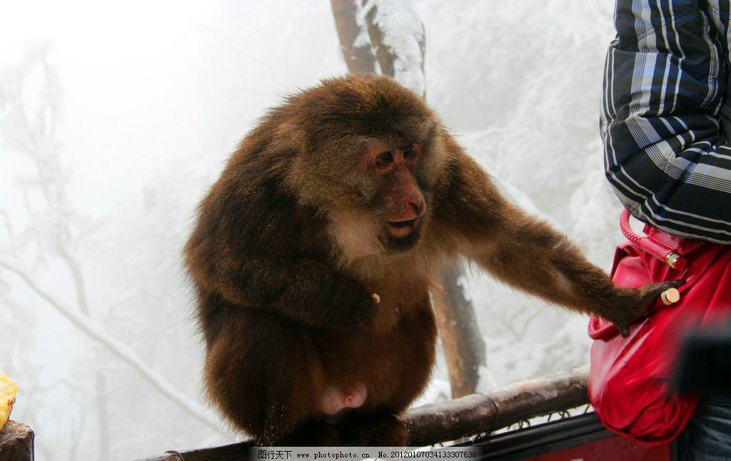 动物 旅游 雪山 雪景 树枝 峨眉山的猴子 肥猴 雪地上的猴子 自然风景
