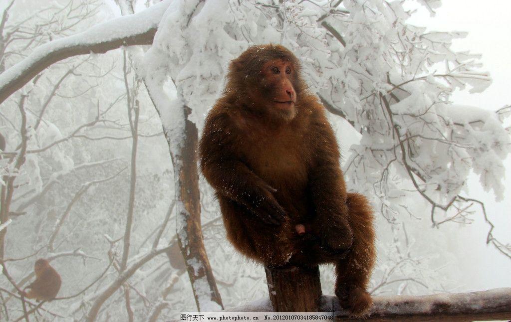 猴子 峨眉山 动物 旅游 雪山 雪景 树枝 峨眉山的猴子 肥猴 雪地上的