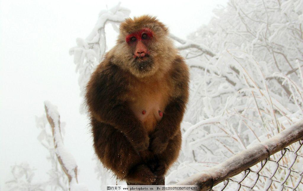 猴子 动物 峨眉山 峨眉山的猴子 肥猴 野生动物 生物世界 摄影 72dpi