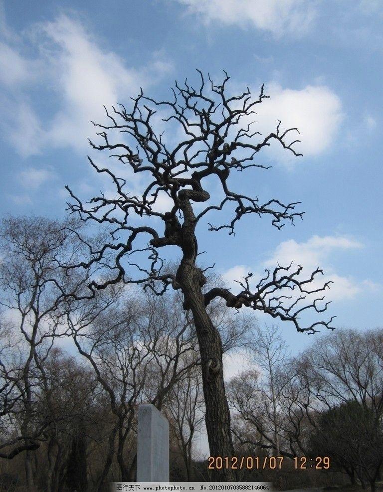 枯树美姿 南京 明孝陵 风景区 世界文化遗产 枯树 蓝天 白云 树木树叶