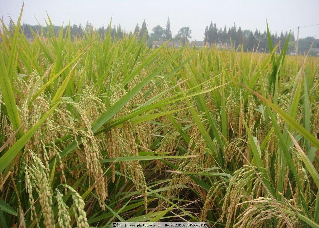 水稻丰收图 水稻 农业 丰收 田野 农田 田园风光 水稻位图 自然景观