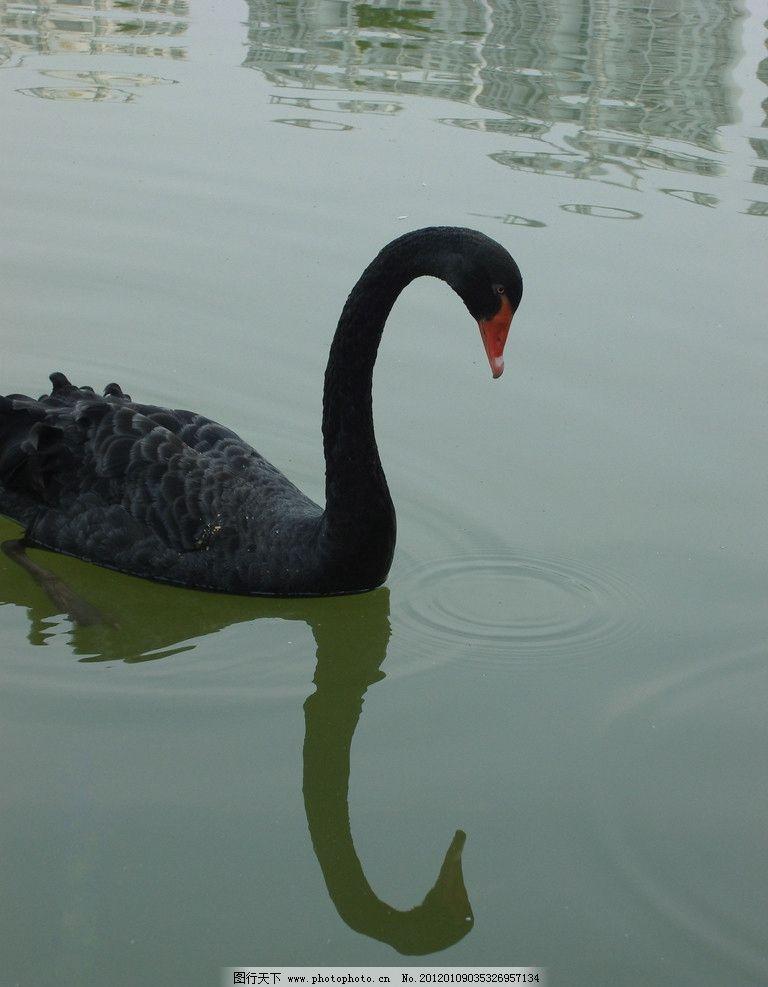 天鹅 黑天鹅 黑色 湖水 绿色 倒影 低头 涟漪 鸟类 生物世界 摄影 72