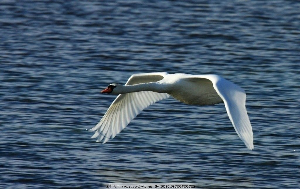 白天鹅图片