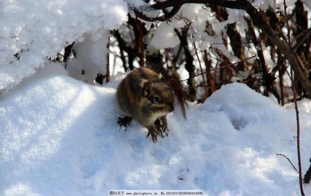 松鼠 动物 峨眉山 旅游 雪山 雪景 树枝 峨眉山的松鼠 雪地上的松鼠