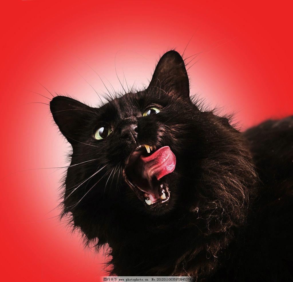 黑猫 宠物猫 张嘴 吐舌头 做鬼脸 红色背景 猫特写 摄影