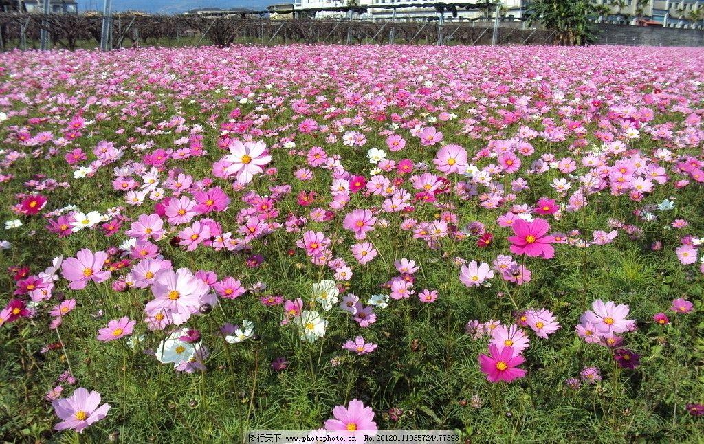 花海 粉色花 格桑花 波斯菊