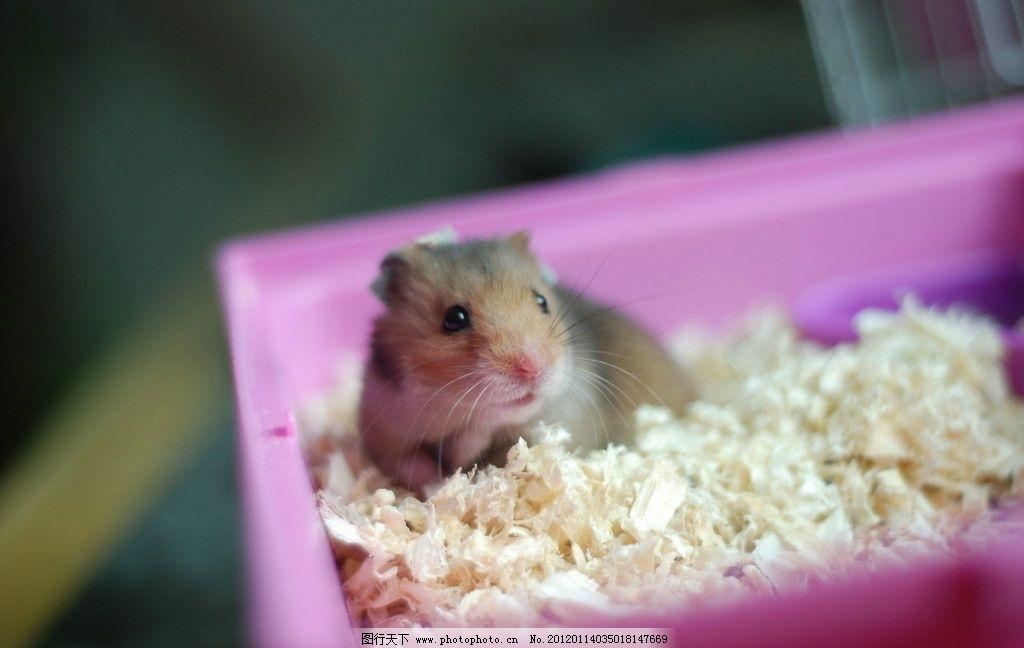 仓鼠金丝熊 黄白色 可爱小动物 野生动物 生物世界 摄影