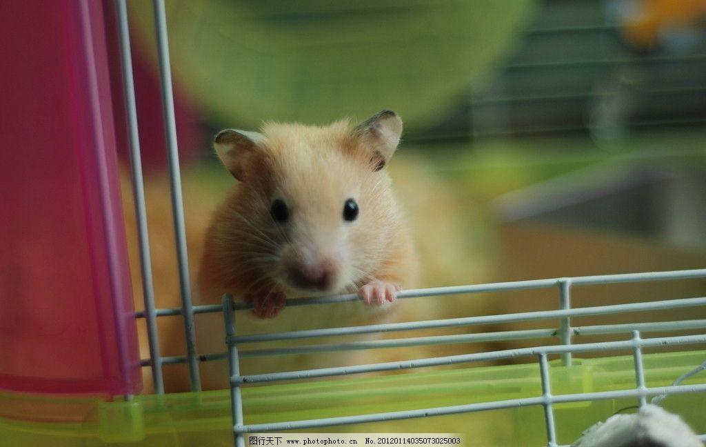 仓鼠金丝熊 仓鼠 金丝熊 黄白色 可爱机灵小动物 野生动物 生物世界