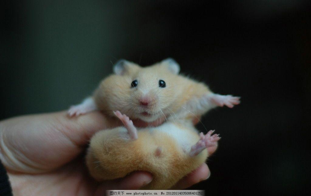 金丝熊仓鼠 黄白色 可爱小动物 摄影