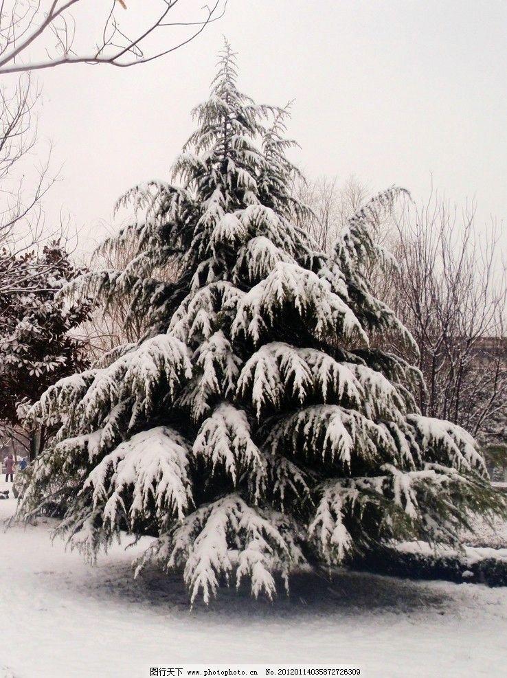 雪松 松树 雪树 雪地 树木树叶 生物世界 摄影 314dpi jpg