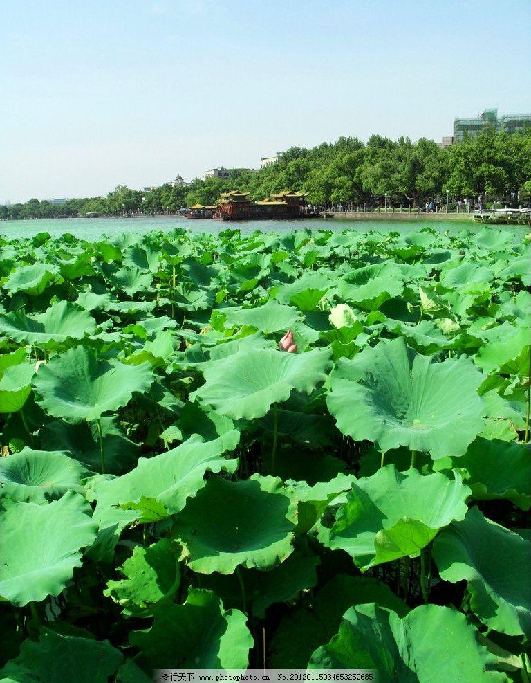 西湖 荷叶 风光 杭州 旅游 西子 风景名胜 自然景观 摄影 96dpi jpg