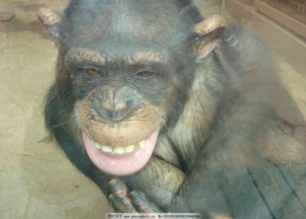 大猩猩 野生大猩猩 开心 野生动物 表情 生物世界 摄影 72dpi jpg