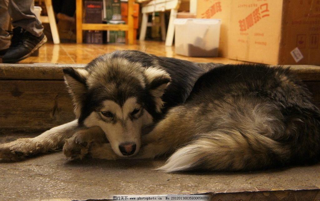 阿拉斯加 牧羊犬 小狗 雪地犬 摄影