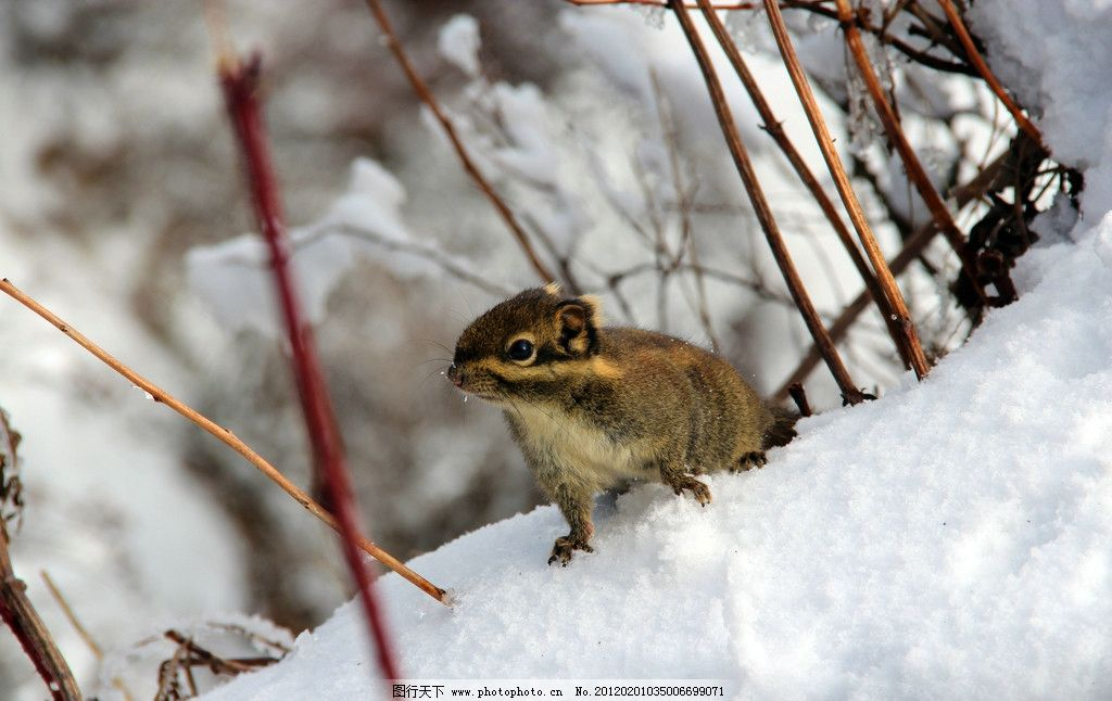 松鼠 动物 野生动物 生物世界 摄影 72dpi jpg