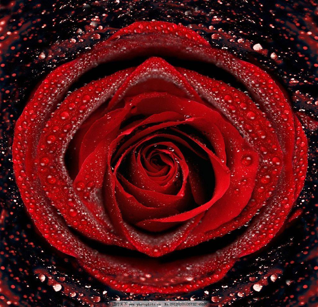 玫瑰花 水滴 红玫瑰 水珠 摄影图片