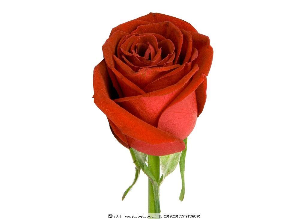 一朵玫瑰花 红玫瑰 一只玫瑰花 一枝玫瑰花 一支玫瑰花 摄影