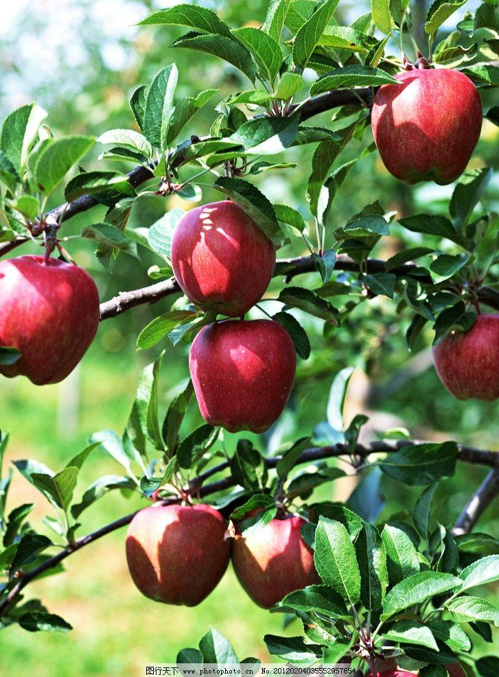 苹果 苹果树 叶子 绿叶 果实 成熟 树枝 精品水果图 水果 生物世界图片