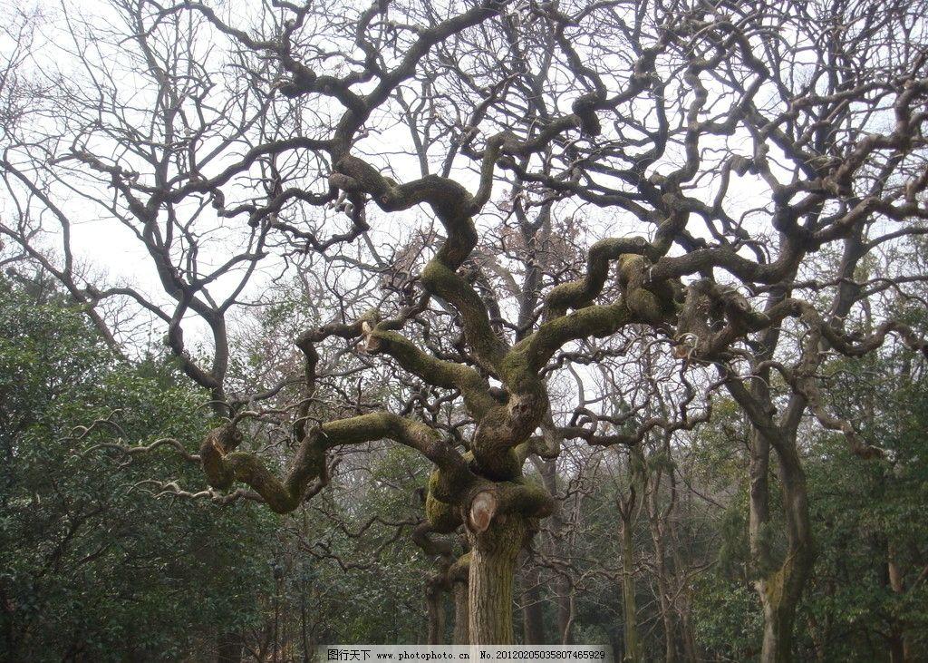 大树 树干 树枝 摄影