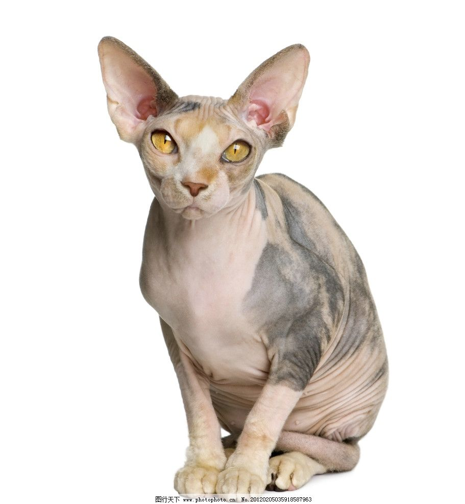 斯芬克斯猫 猫 猫咪 家猫 宠物猫 小猫 家畜 动物 各种猫 家禽家畜