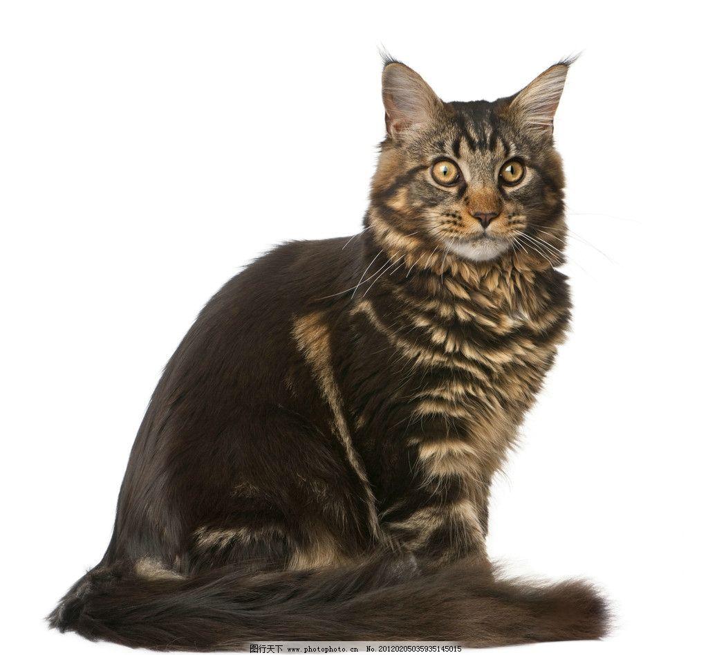 缅因猫 猫咪 家猫 宠物猫 小猫 家畜 动物 各种猫 摄影