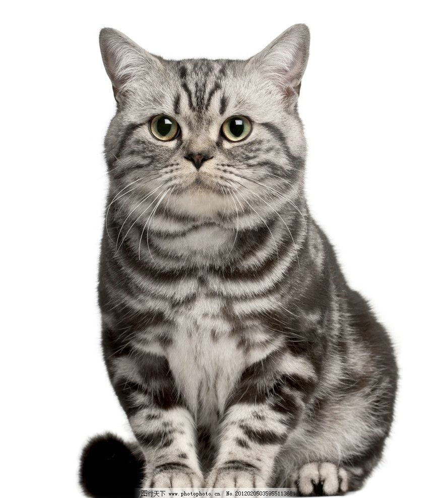 短毛猫 猫 猫咪 家猫 宠物猫 小猫 家畜 动物 各种猫 家禽家畜 生物