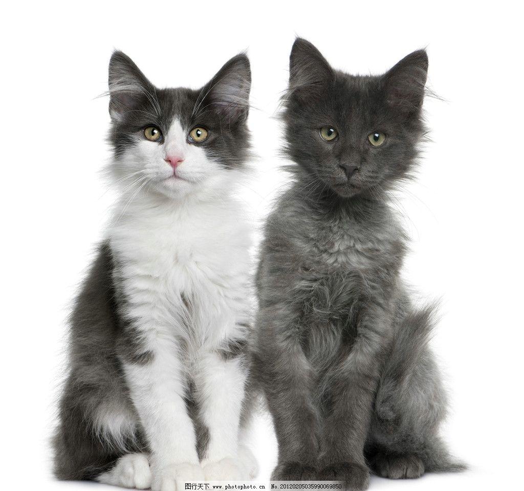 西伯利亚森林猫图片
