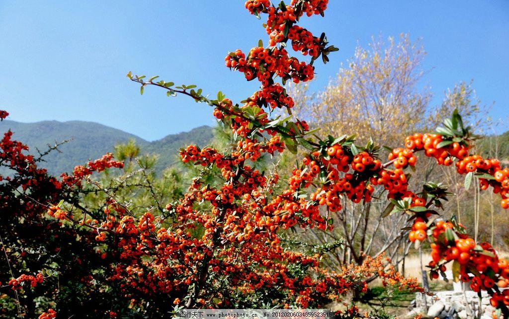 野果 山间野果 果实 高山 风景素材 摄影