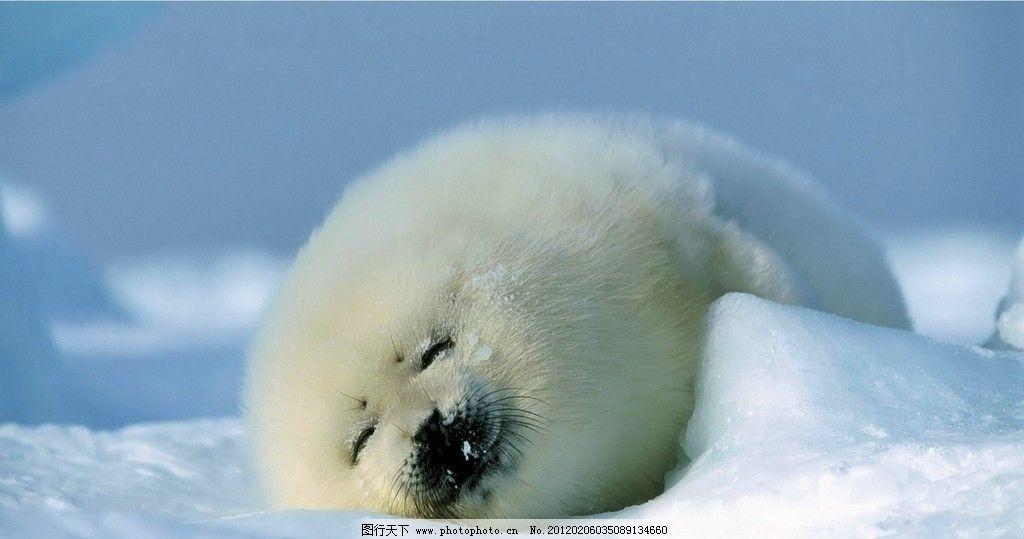 海狗宝宝 可爱 海狗 睡觉 北极 野生动物 生物世界 摄影 72dpi jpg