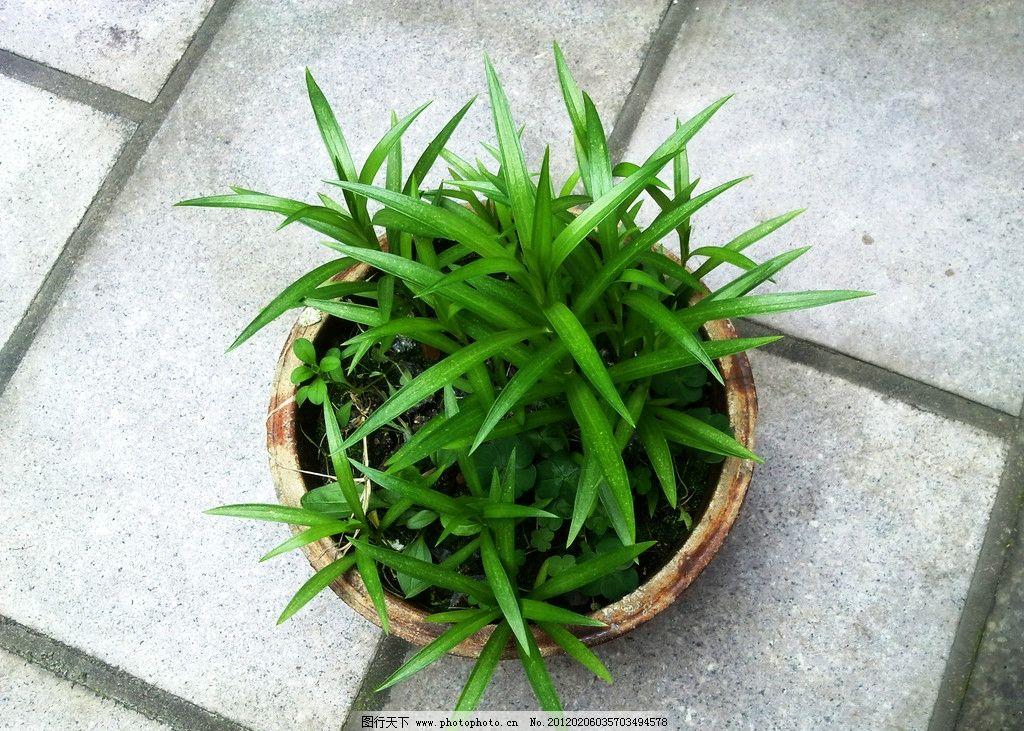 线描写生盆栽植物吊兰