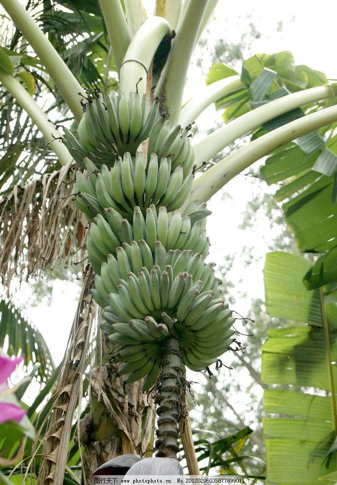 园林 绿叶 香蕉 花朵 蕉叶 绿色香蕉 树木 树木树叶 生物世界 摄影 35