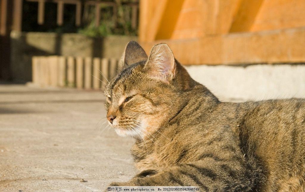 可爱小猫 猫咪 宠物 猫科动物 虎皮猫 休息 家禽家畜宠物 摄影