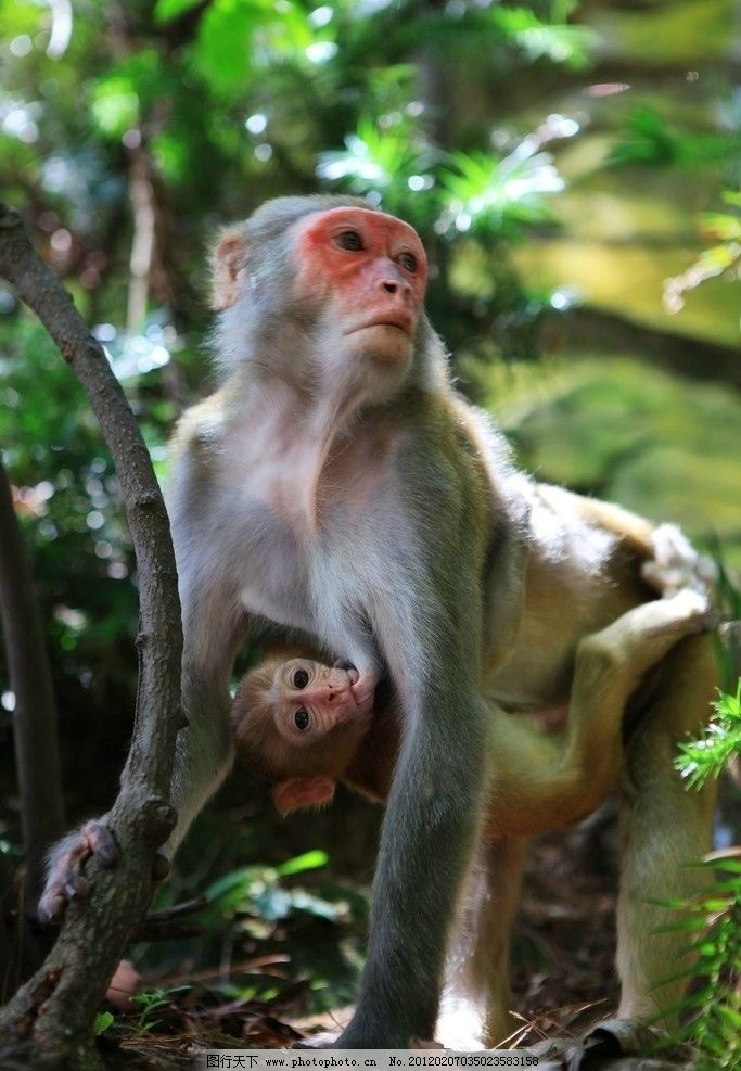 猴母子 大猴 小猴 绿色 猴子亲情 猴脸 可爱 猴子 野生动物 生物世界