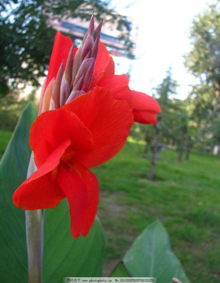 美人蕉 红花绿叶 鲜花特写 百花争艳 鲜花怒放 田园风光 花草 生物