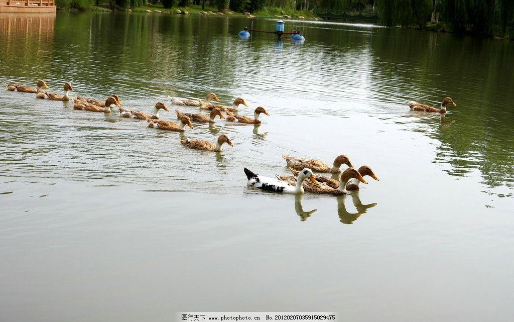 鸭群 湖水 麻鸭 涟漪 绿树 倒影 戏水 群鸭 楼台 家禽家畜 生物世界